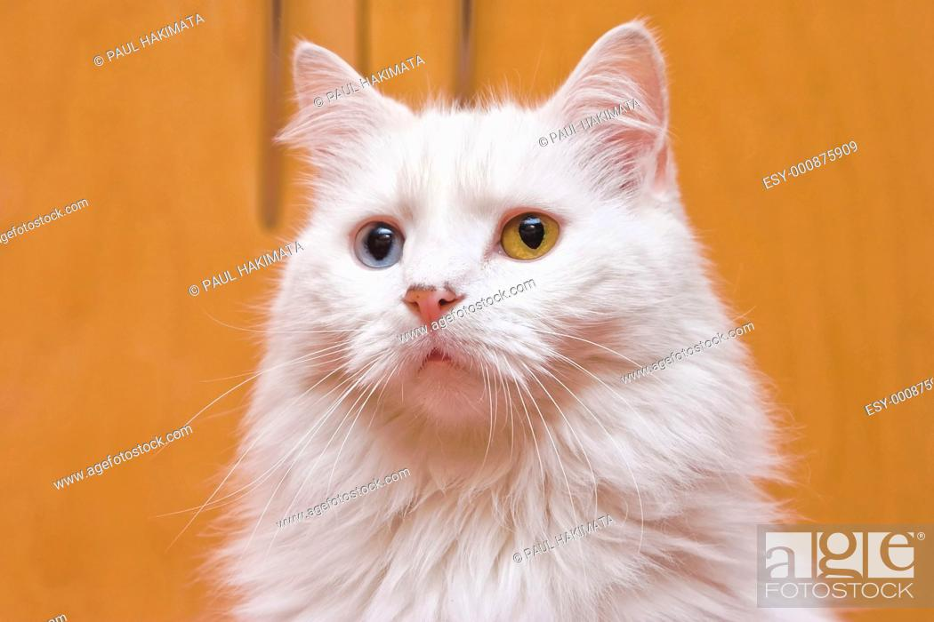 Stock Photo: A portrait of a bi-colored eye blue and yellow medium long haired white cat, like a Persian or RaggaMuffin breed.