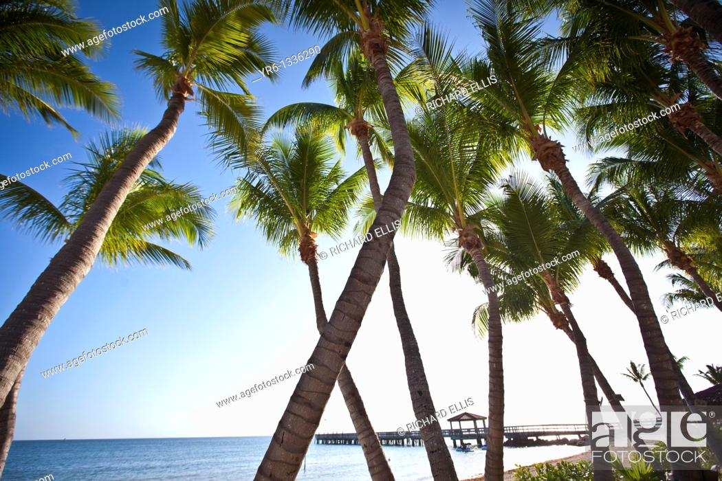Stock Photo: Coconut palms along the beach in Key West, Florida.
