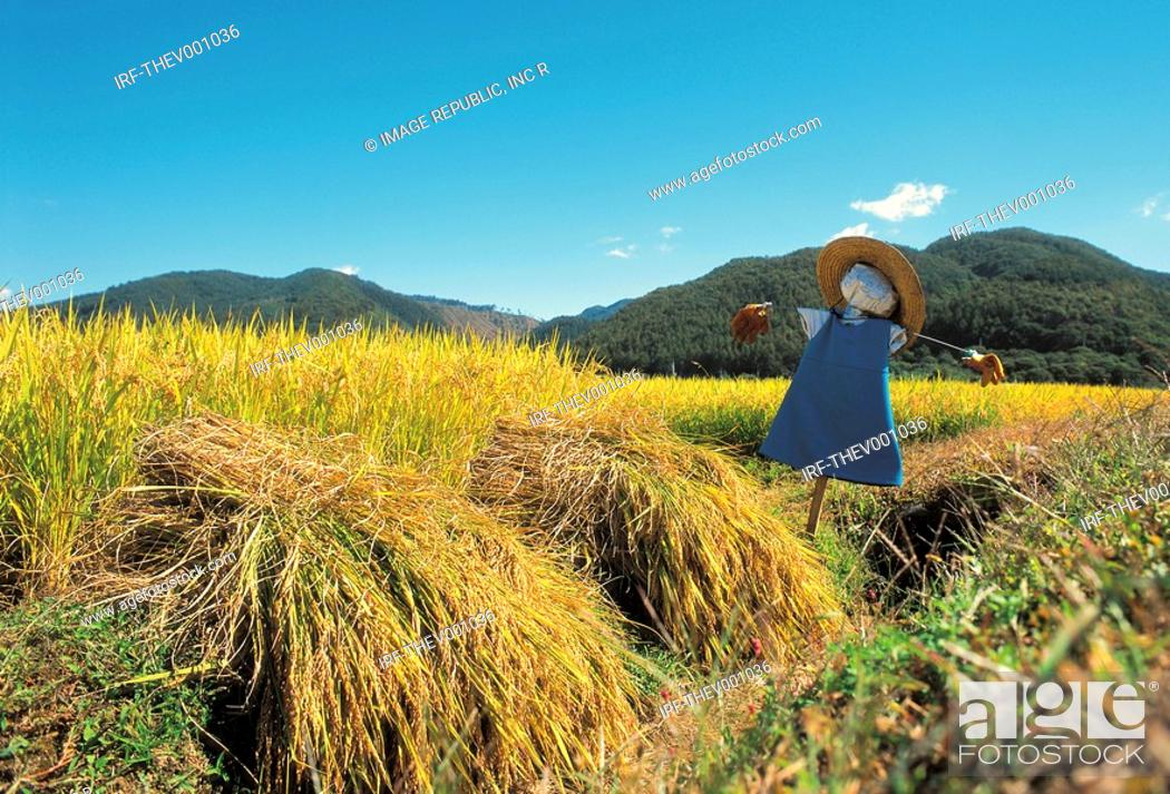 Stock Photo: rice paddy and scarecrow in autumn.
