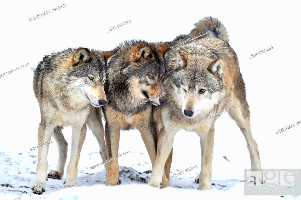 Photo de stock: One-year old Eastern Wolf, Eastern timber wolf (Canis lupus lycaon), Young wolves playing in winter, Baden-Württemberg, Germany.