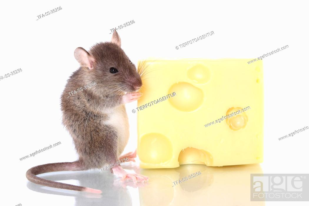 Stock Photo: fancy rat with cheese.