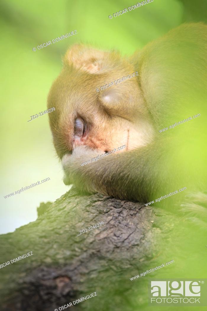 Stock Photo: Rhesus Monkey (Macaca mulatta) resting in tree. Keoladeo National Park. Bharatpur. Rajasthan. India.