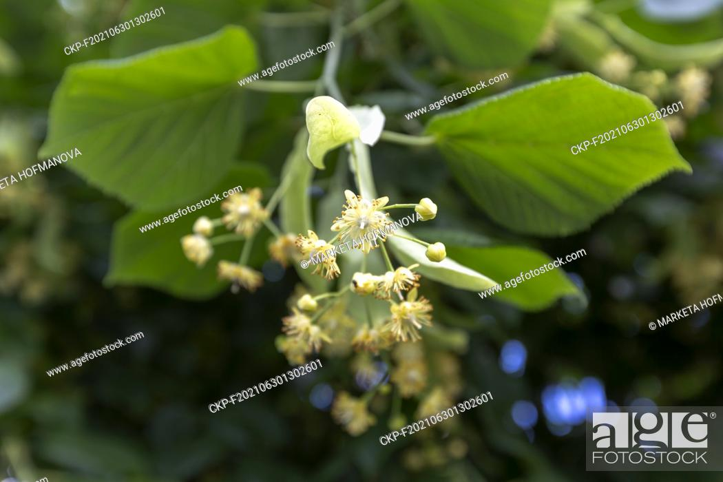 Stock Photo: Small-leaved linden, Tilia cordata, nature, plants, flowers. (CTK Photo/Marketa Hofmanova).