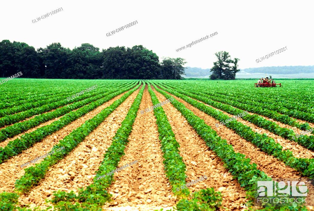 Stock Photo: Cultivating soy bean field near Wilmington, OH.