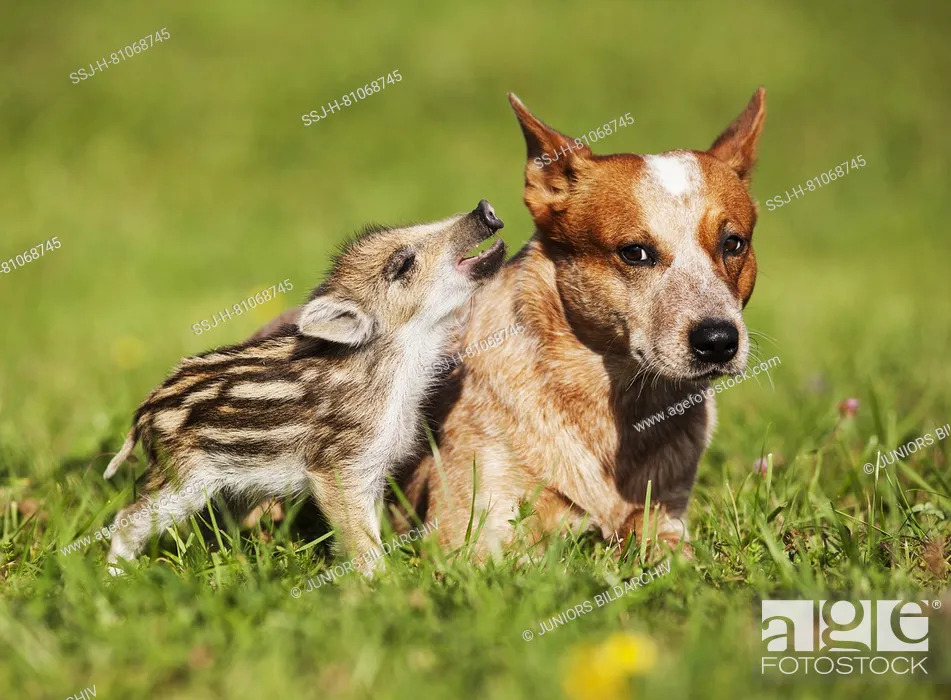 Stock Photo: Australian Cattle Dog and Wild Boar. Wild Boar shoat smooching with adult dog. Germany .