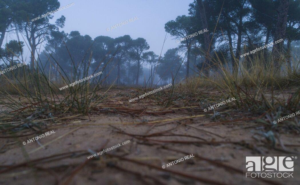 Stock Photo: Stone pine forest (Pinus pinea) and fog. Almansa. Albacete province. Spain.