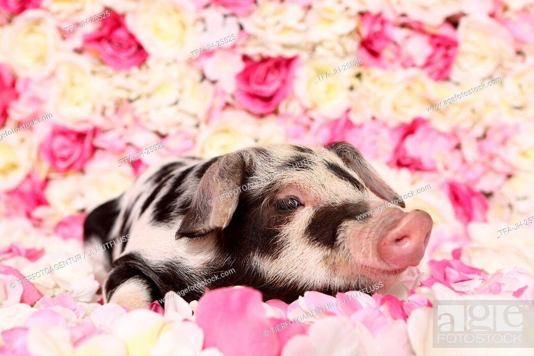 Imagen: piglet.