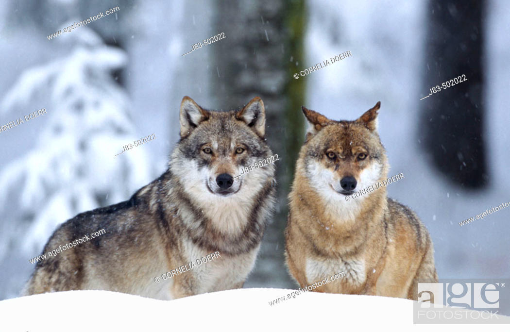 Stock Photo: Wolves (Canis lupus), Bayerischer Wald Nationalpark. Bavaria, Germany.