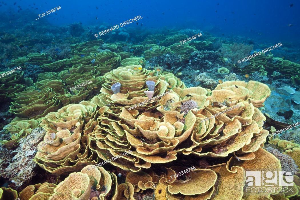 Stock Photo: Reef of Lettuce Coral, Turbinaria mesenterina, Tufi, Solomon Sea, Papua New Guinea.