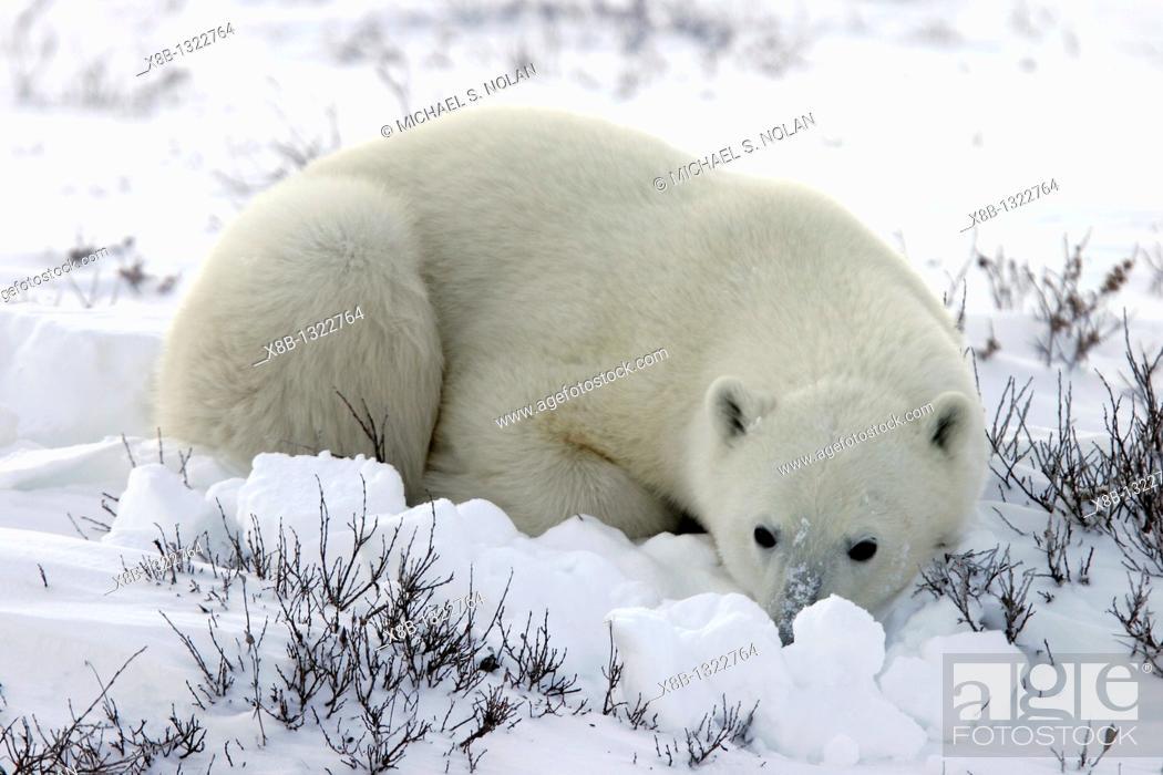 Stock Photo: Polar Bear Ursus maritimus in day bed near Churchill, Manitoba, Canada.