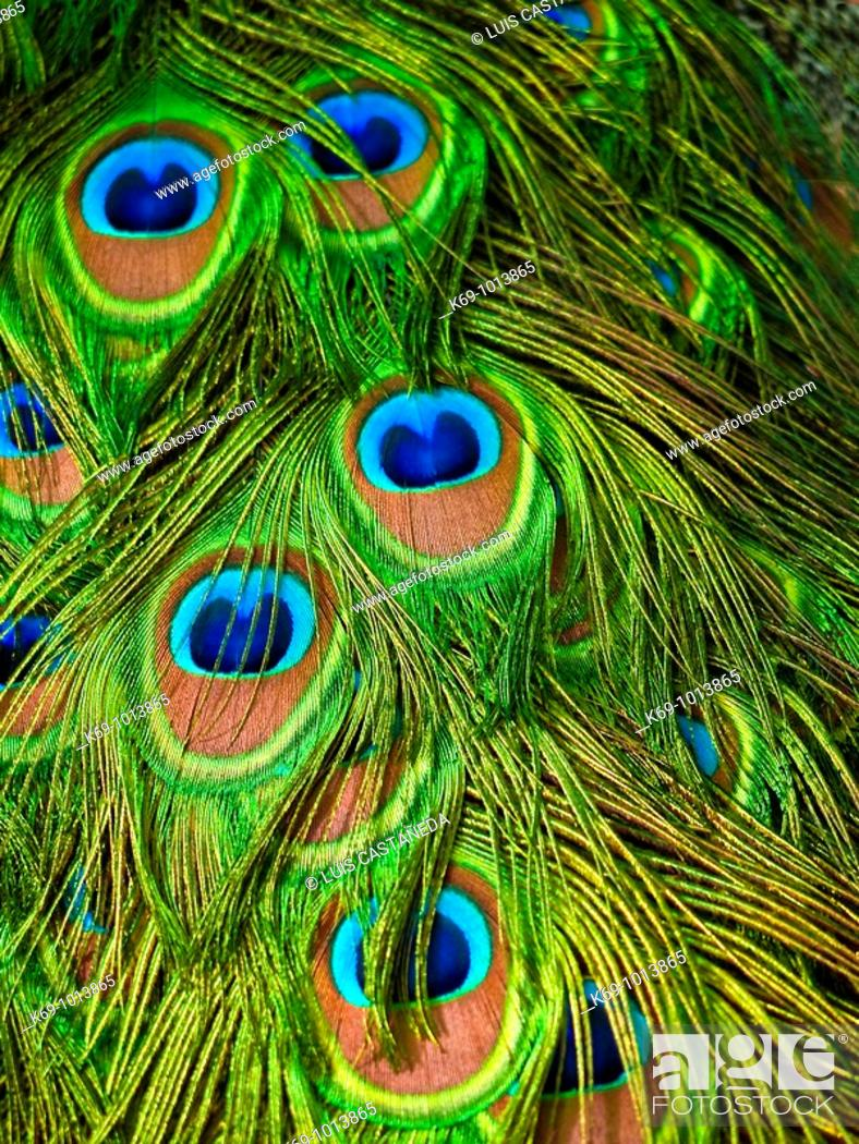 Stock Photo: Peacock's Feathers.