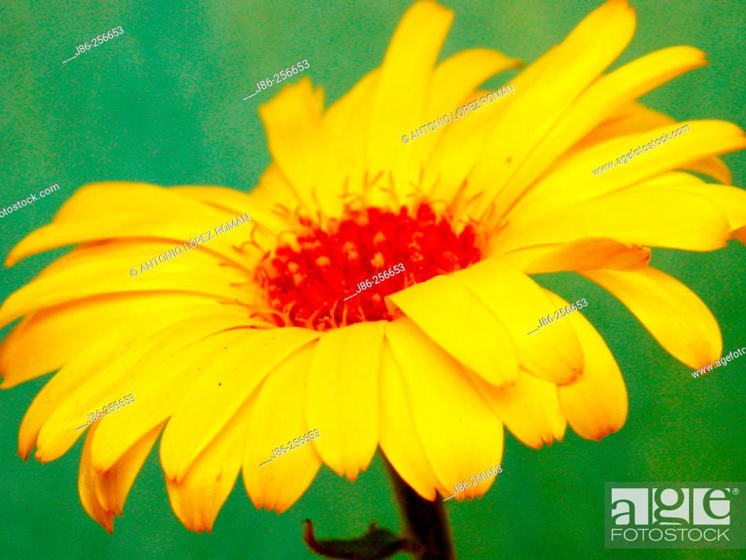 Stock Photo: Chrysanthemum flower.