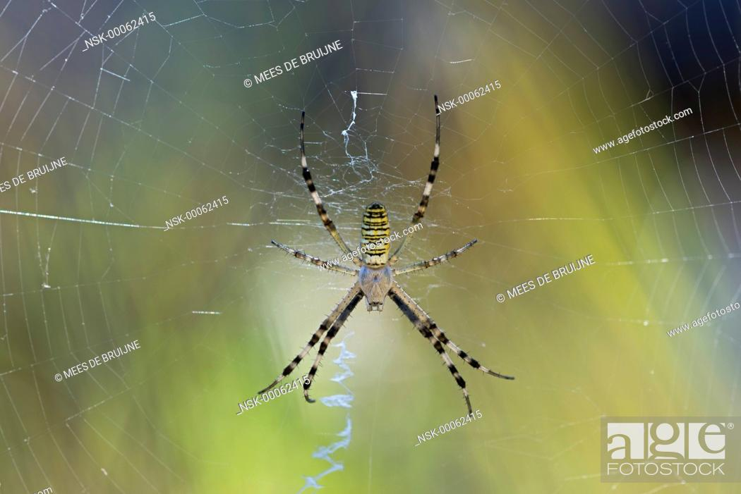 Stock Photo: Wasp Spider (Argiope bruennichi) in his web, France, Rhone-Alpes, Parc Naturel Regional du Vercors.