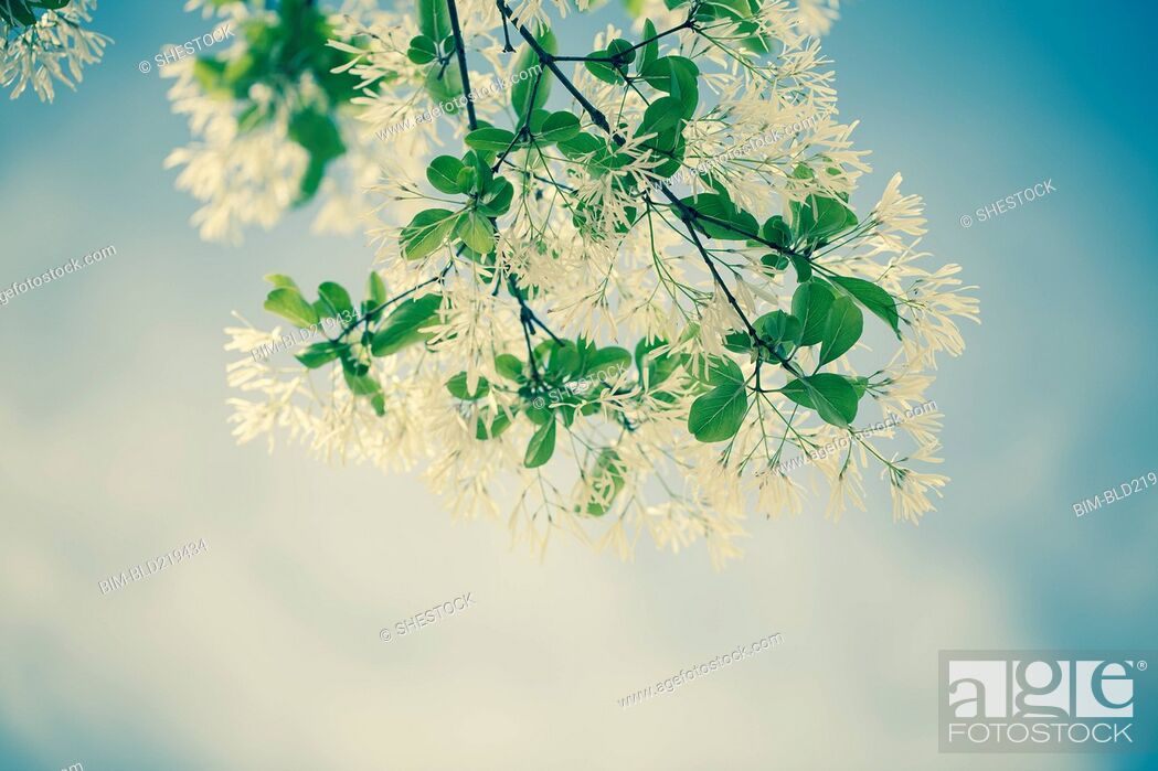 Stock Photo: Low angle view of flowers growing on plant branch.