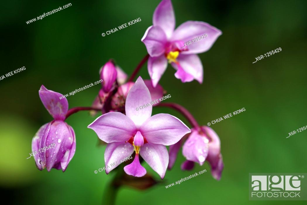 Stock Photo: Wild Orchid, Kuching National Park, Malaysia.
