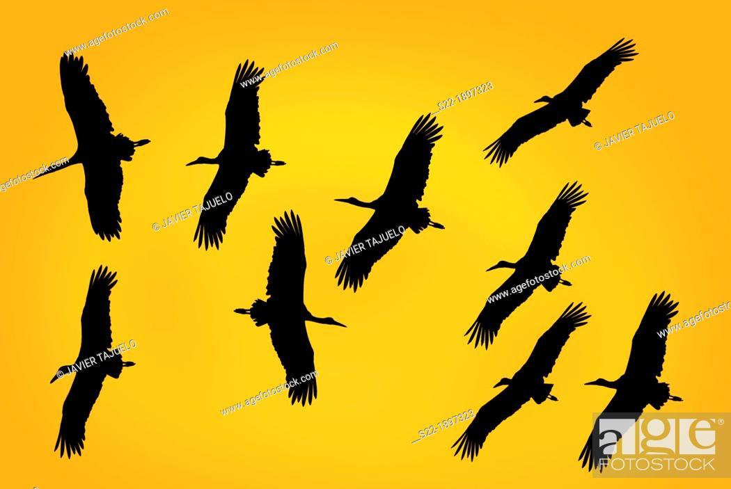 Stock Photo: White Storck, Cigüeña Blanca, Ciconia ciconia.