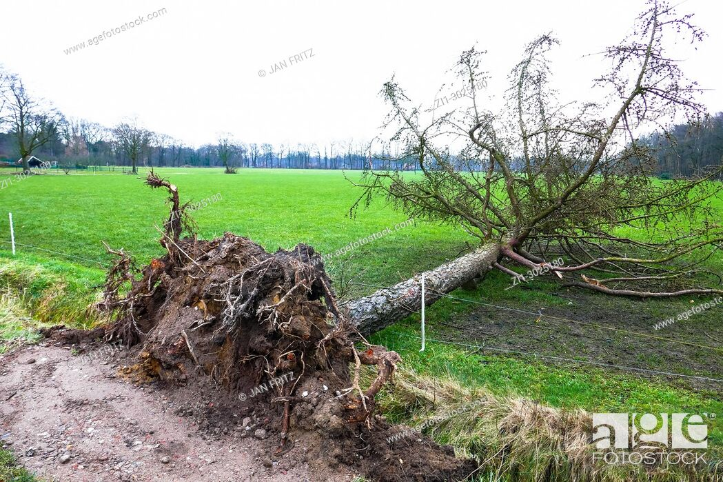 Imagen: by storm uprooted tree near farmland in Gelderland, Holland.