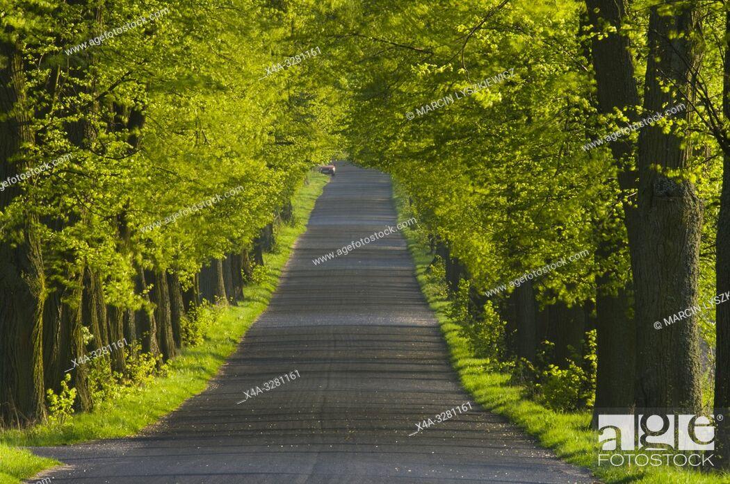 Stock Photo: lime tree alley, Kujawy region, Poland.