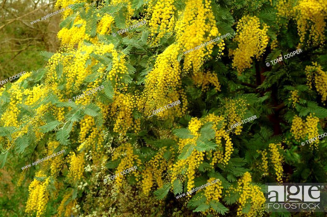 Acacia Dealbata Subalpina Mimosa Stock Photo Picture And Rights