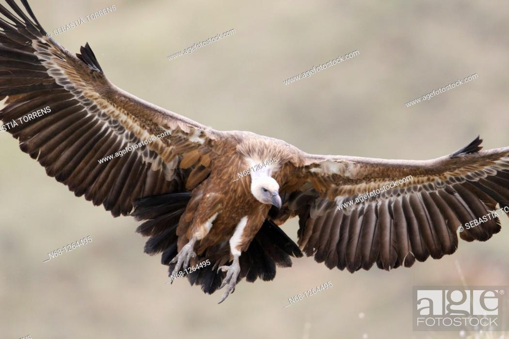 Stock Photo: Griffon Vulture Gyps fulvus flying, Lleida, Spain.