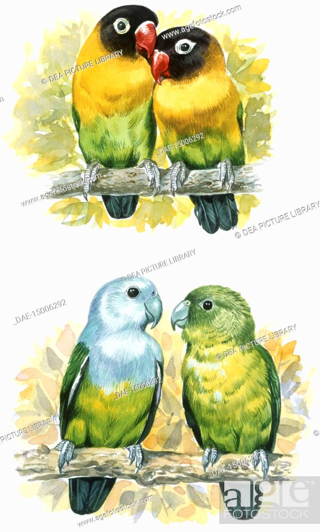 Stock Photo: Zoology - Birds - Coraciiformes - Rosy Bee-eater (Merops malimbicus) excavating nest cavity, illustration.