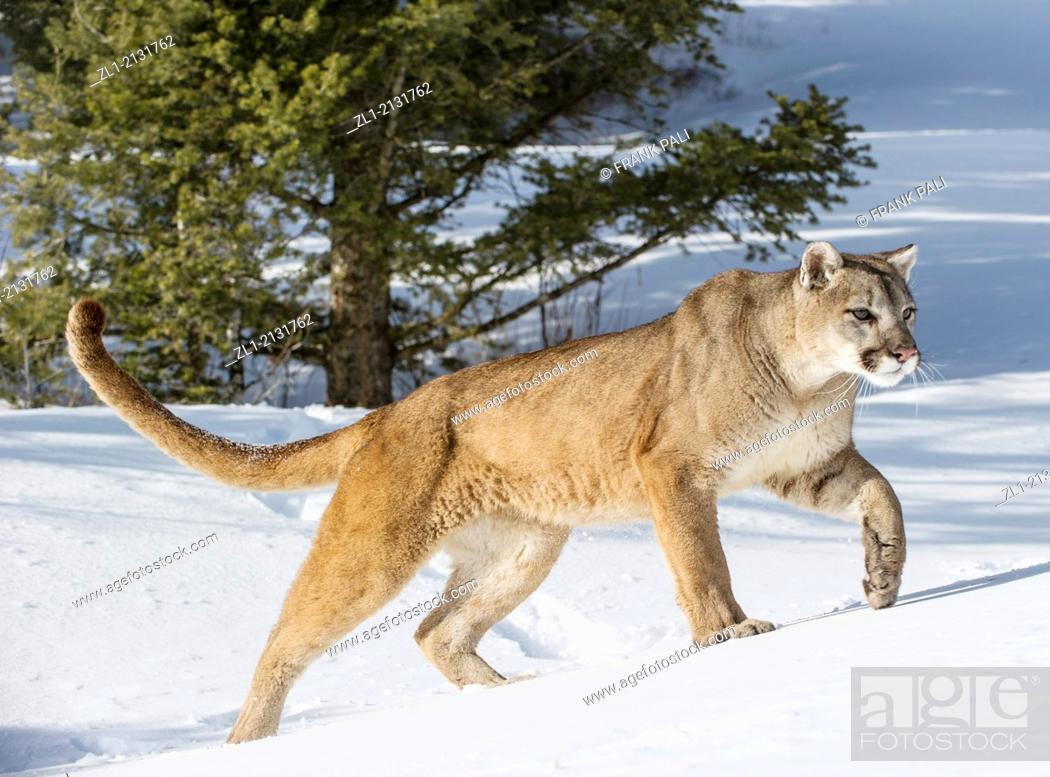 Stock Photo: Mountain Lion (Puma concolor couguar) in snow, winter, captive.Bozeman, Montana.