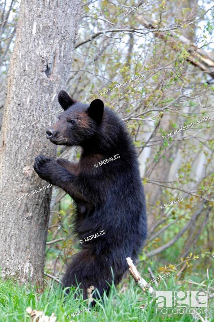 Stock Photo: Black Bear (Ursus americanus), 1 year and a half old cub. Minnesota, USA.