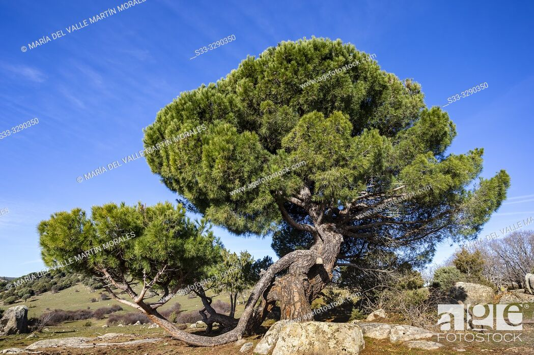Stock Photo: Pine in the meadows in El Hoyo de Pinares. Avila. Spain. Europe.