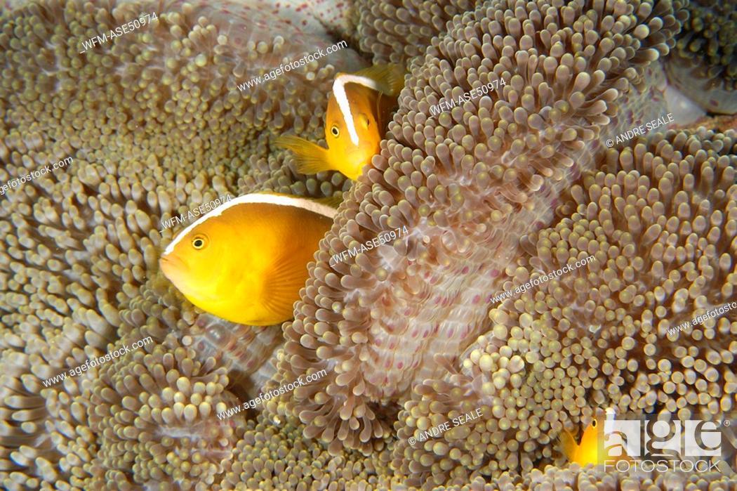 Stock Photo: Three Orange Anemone Fishes in Mertens Sea Anemone, Amphiprion sandaracinos, Stichodactyla mertensii, Puerto Galera, Mindoro, Philippines.