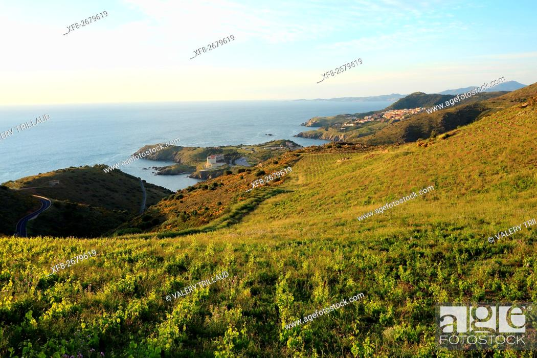 Stock Photo: Vineyards of the AOC Banyuls wine cultivated on the slope near the sea, Pyrenees orientales, Languedoc Roussillon, France.