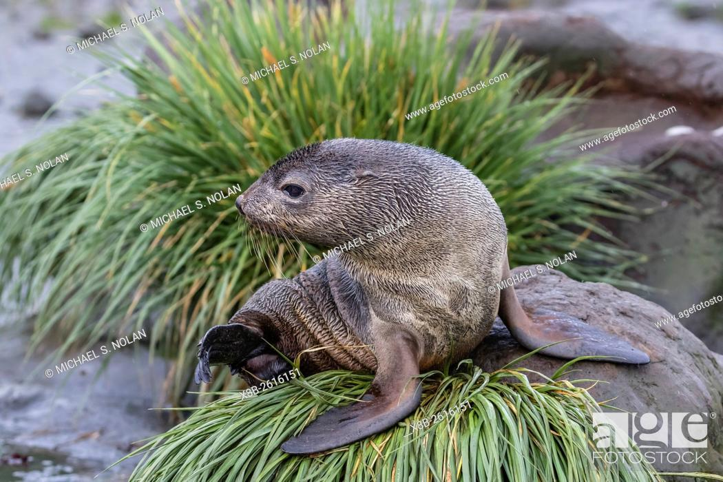 Stock Photo: A young Antarctic fur seal, Arctocephalus gazella, on tussac grass in Cooper Bay, South Georgia.