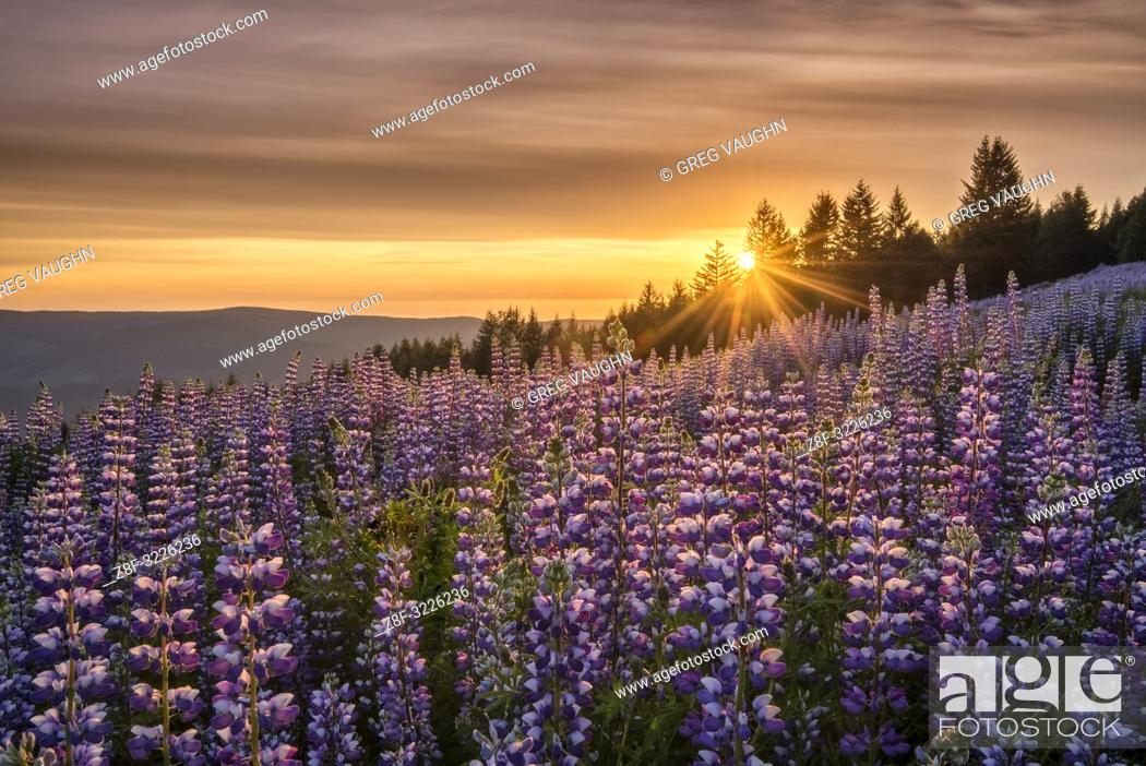 Imagen: Lupine at Dolason Prairie, Redwoods State and National Parks, California.