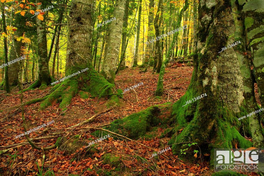 Stock Photo: Forest Nature Park Irati. Navarra.