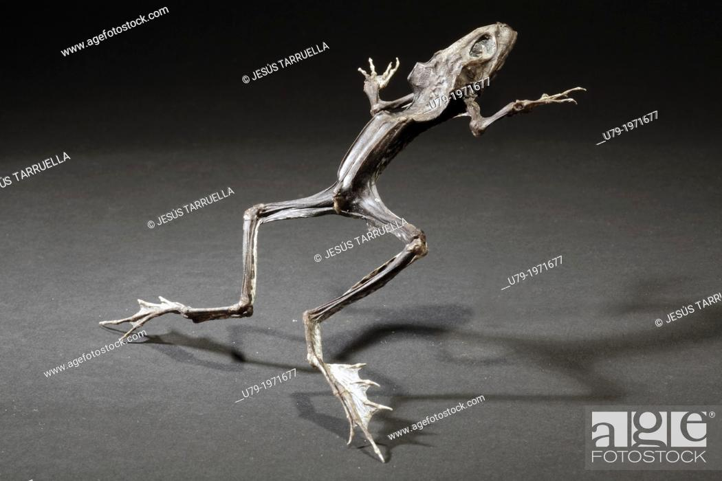 Stock Photo: Mummified dead frog.