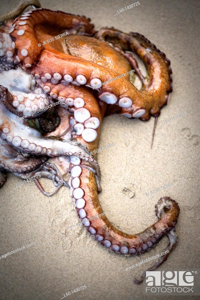 Stock Photo: Octopus near of Ribadeo.