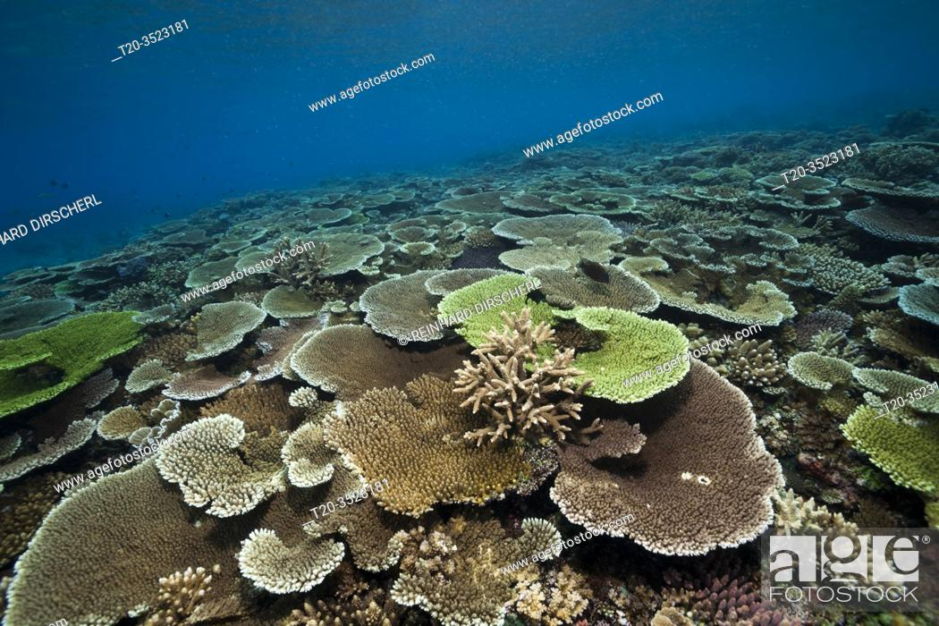 Stock Photo: Healthy Hard Coral Reef, Acropora, Kimbe Bay, New Britain, Papua New Guinea.