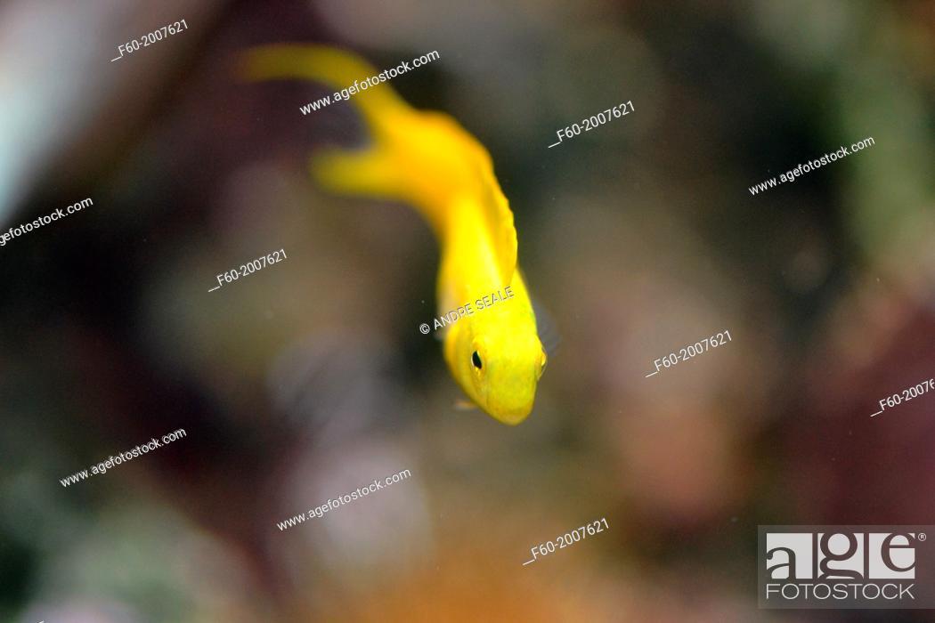 Stock Photo: Bicolor fangblenny, Plagiotremus laudandus, endemic to Fiji and Tonga, captive, Kula Eco Park, Viti Levu, Fiji, South Pacific.