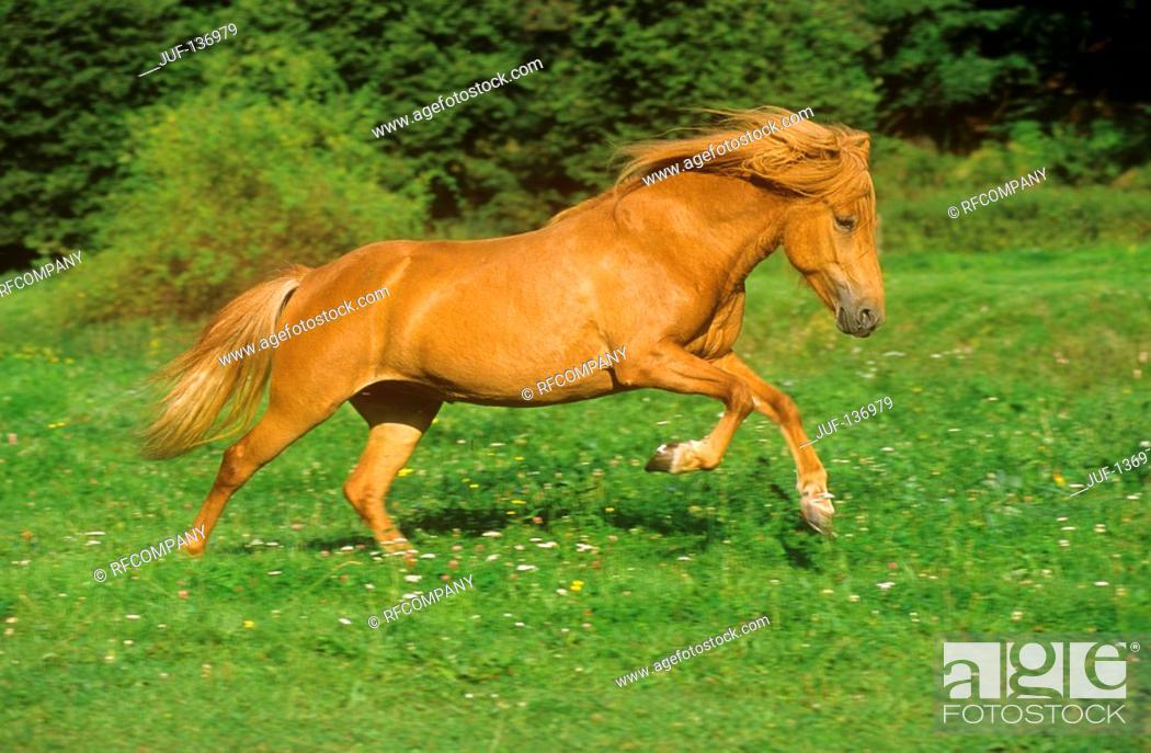 Stock Photo: Icelandic horse - running on meadow.