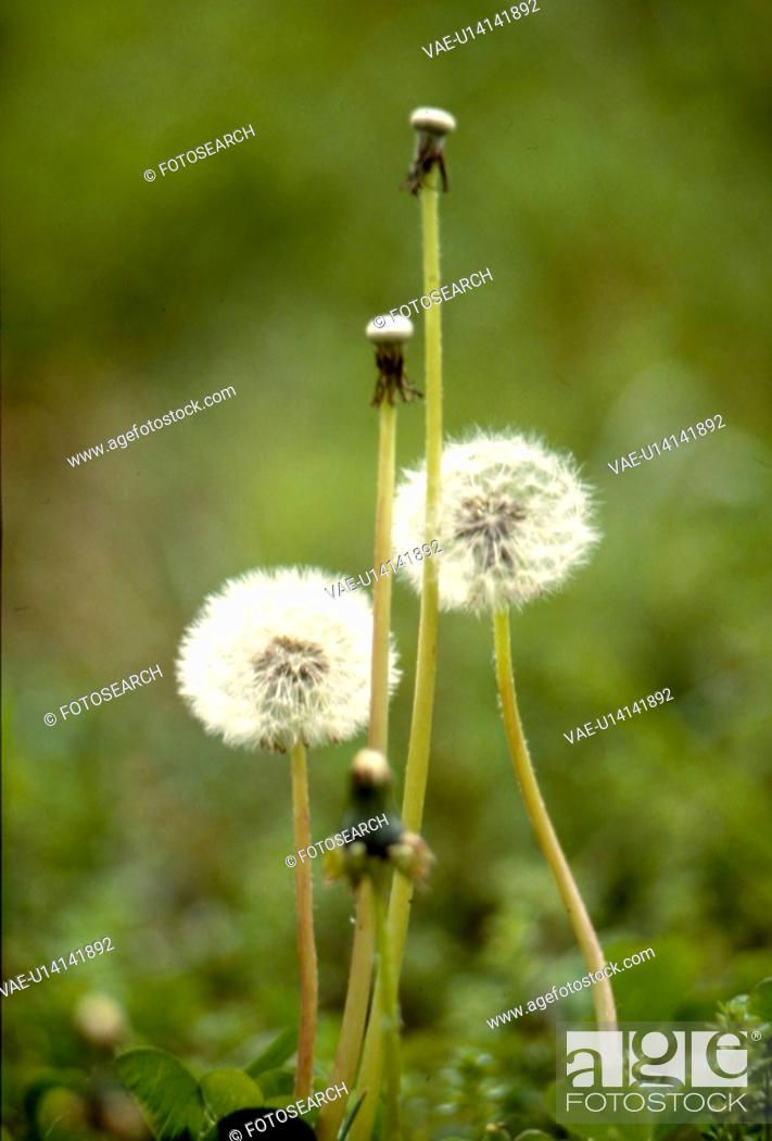Stock Photo: flowers, nature, flower, danelion seed, scene, white flower, landscape.