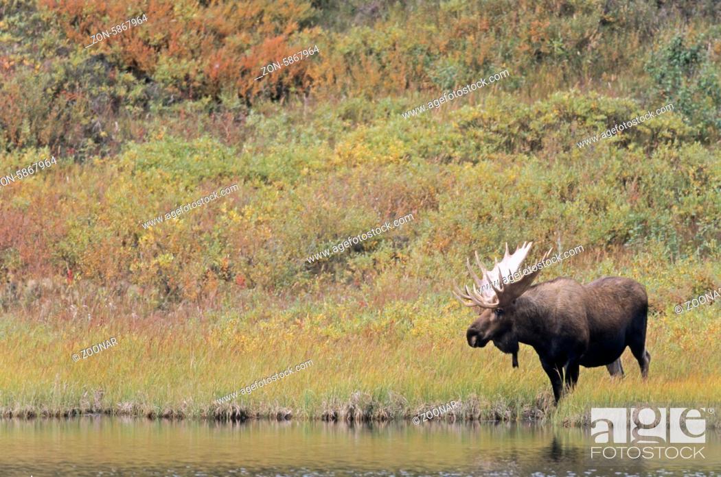 Stock Photo: Elchschaufler steht an einem Teich in der Tundra - (Alaska-Elch) / Bull Moose standing next to a pond in the tundra - (Alaska Moose) / Alces alces - Alces alces.