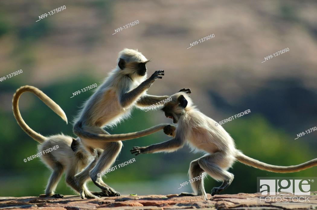 Stock Photo: Hanuman langur Presbytis entellus, Common langur, Grey langur, group of playing cubs, Mandore Garden, Jodhpur, Rajasthan, India.