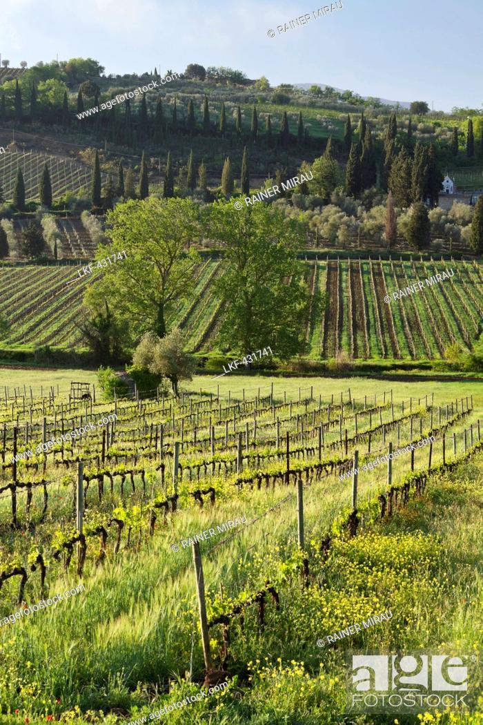 Stock Photo: Wine growing near Castelnuovo, Tuscany, Italy.