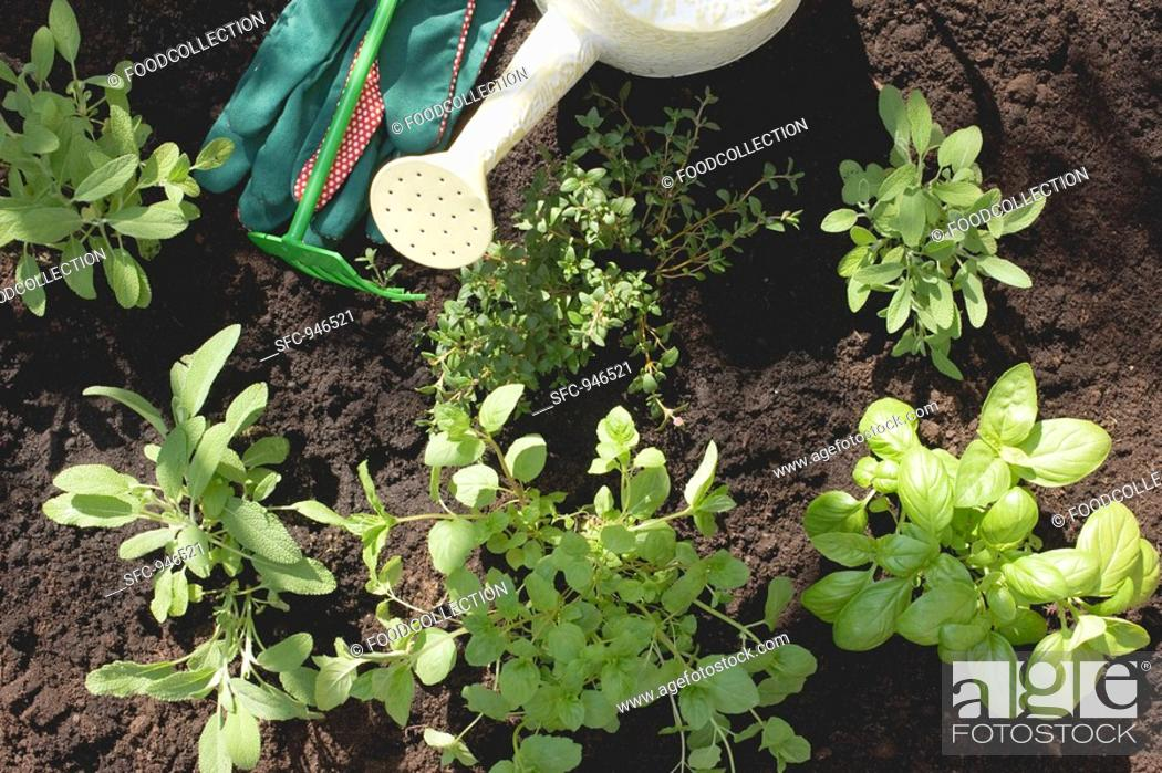 Stock Photo: A herb garden detail.