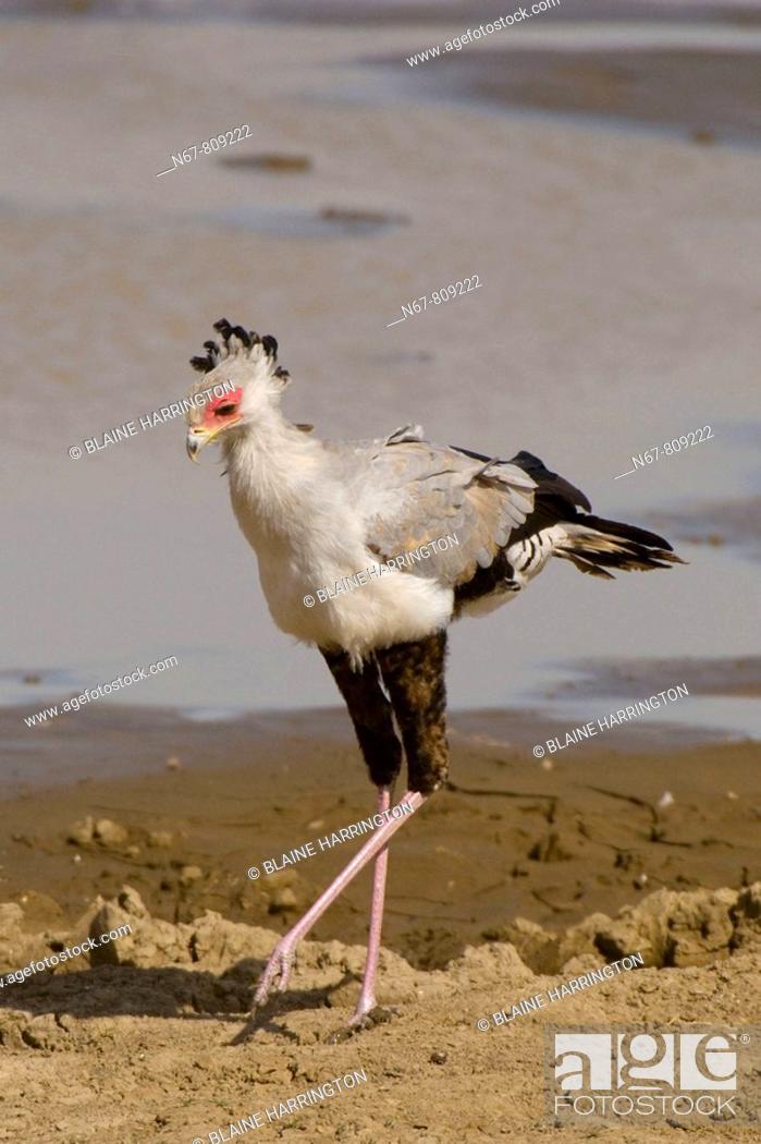 Stock Photo: Secretary Bird, Serengeti National Park, Tanzania.