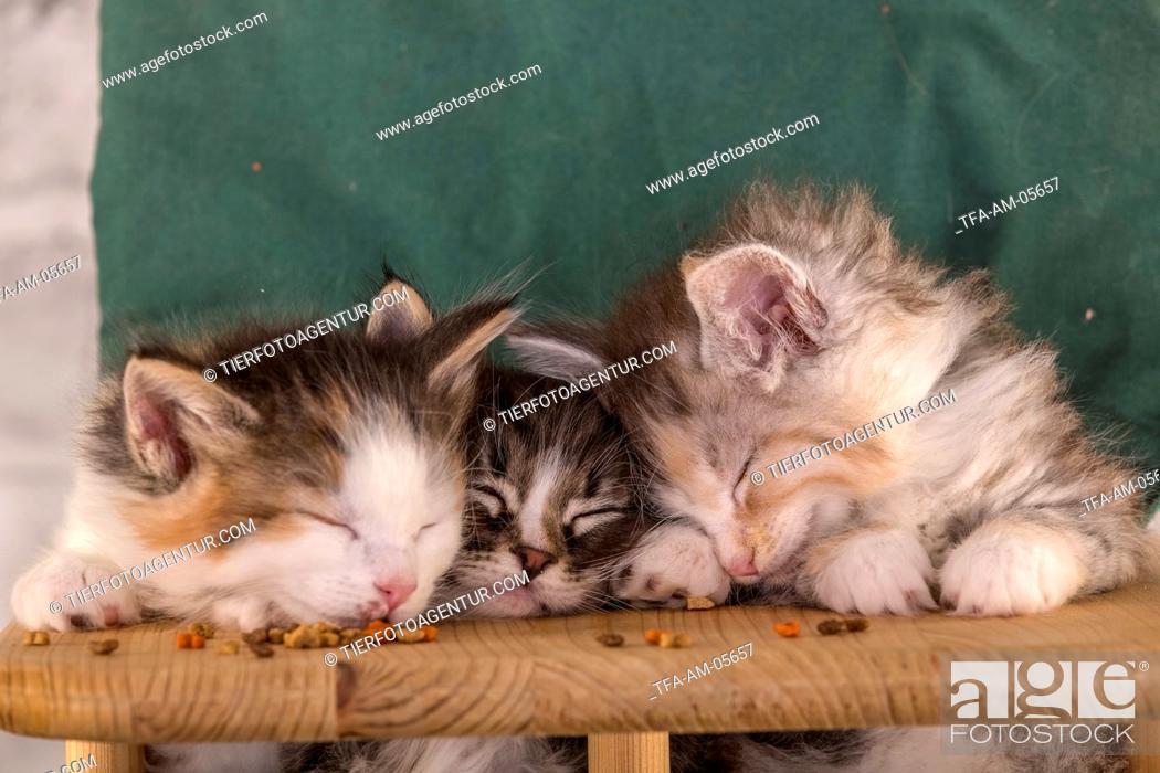 Stock Photo: Norwegian Forest Cat Kitten.