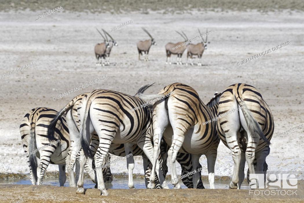 Stock Photo: Burchell's zebras (Equus quagga burchellii), adults, drinking at the waterhole, gemsboks (Oryx gazella) standing far behind, Etosha National Park, Namibia.
