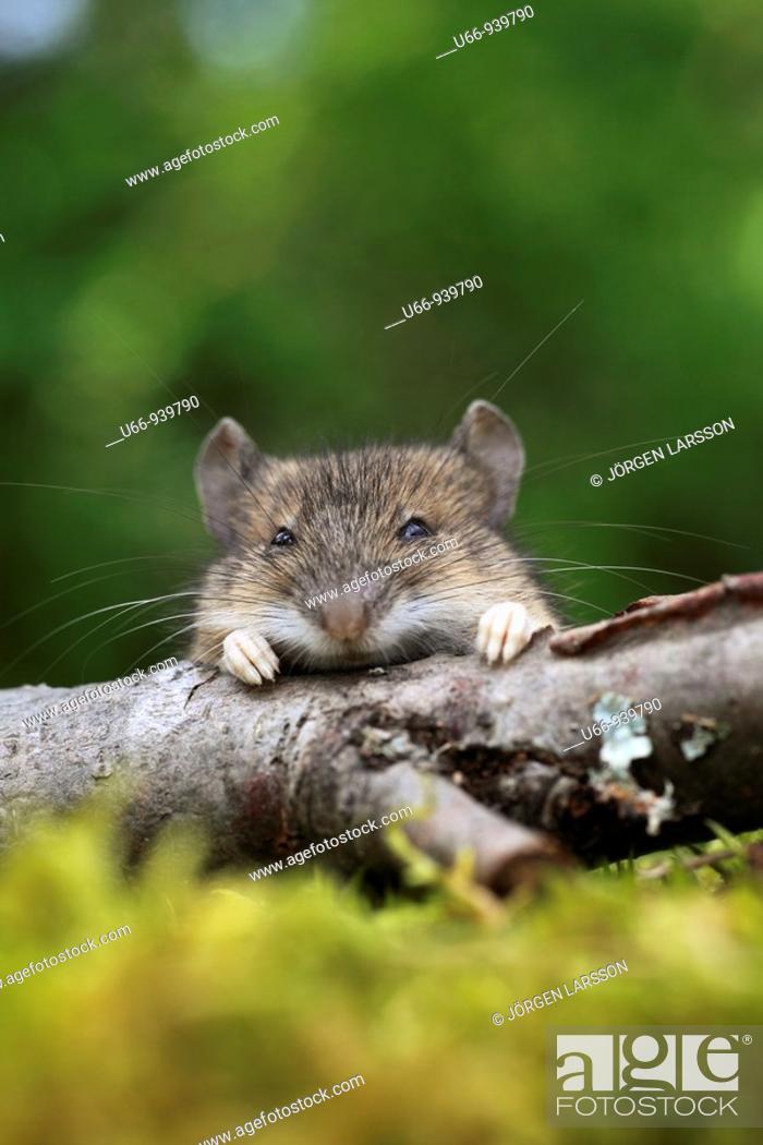 Stock Photo: Mouse, Småland, Sweden.
