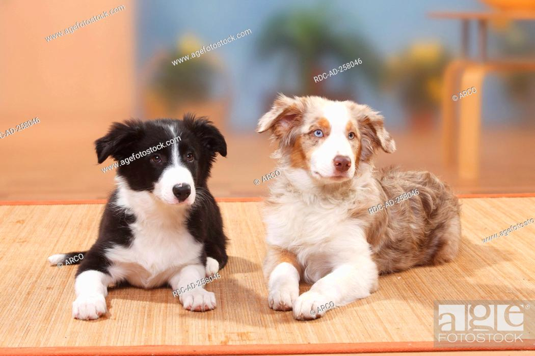 Australian Shepherd Puppy Red Merle 19 Weeks And Border Collie Puppy 13 Weeks Stock Photo Picture And Rights Managed Image Pic Rdc Ad 258046 Agefotostock