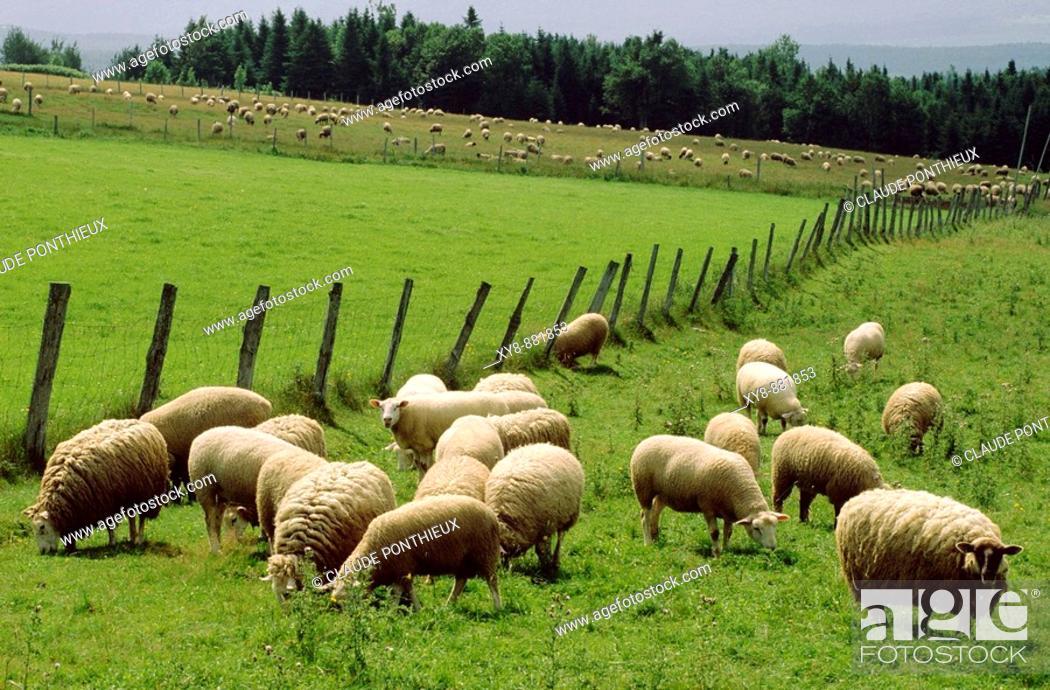 Stock Photo: Sheeps.
