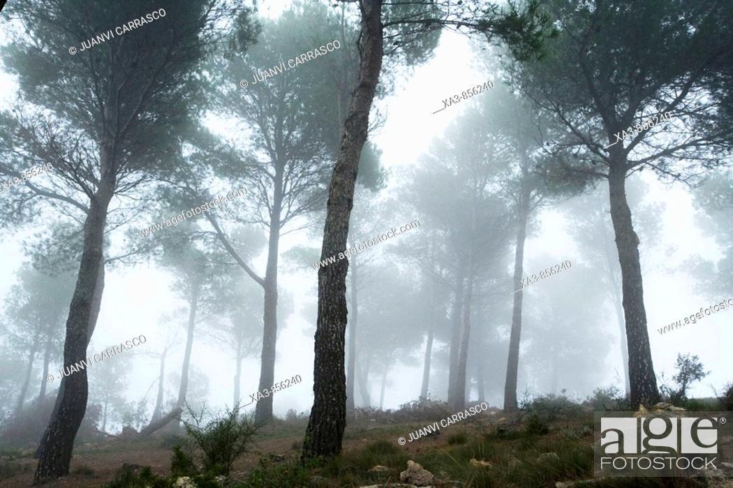 Stock Photo: Fog at pine forest, Sierra Calderona natural park, Comunidad valenciana, Spain.